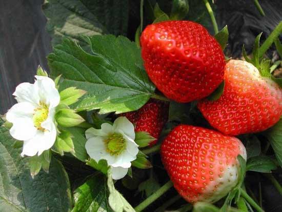 盆栽草莓种植方法