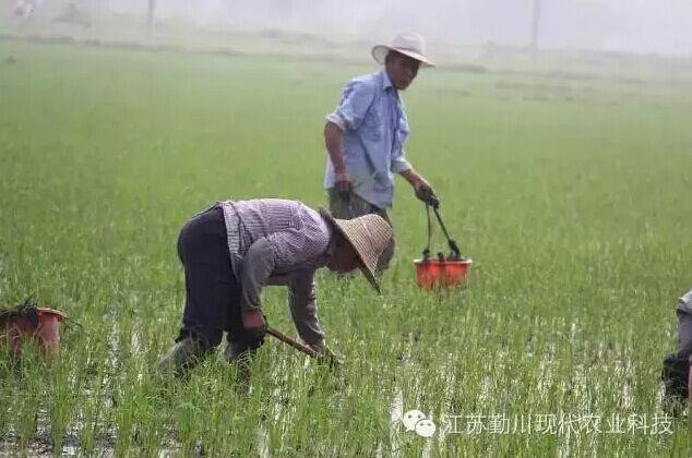 勤川——真正的放心米